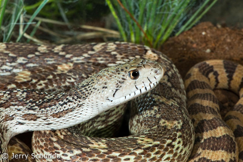 Gopher Snake 5