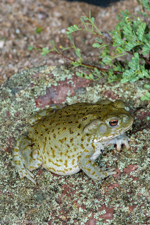 Sonoran Desert Toad 2