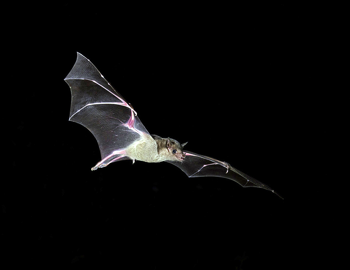 Lesser Long-nosed Bat 4