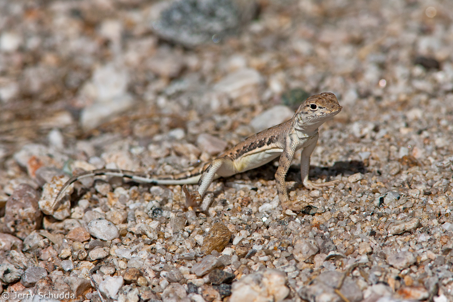 Zebra-tailed LIzard 2
