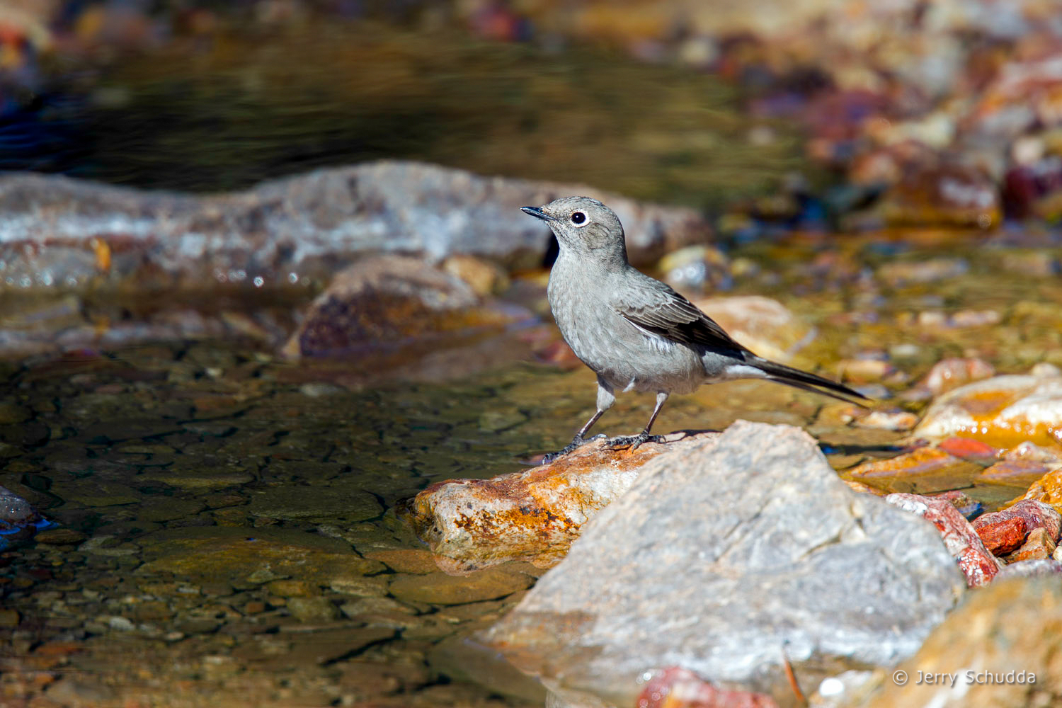 Townsend's Solitaire 1