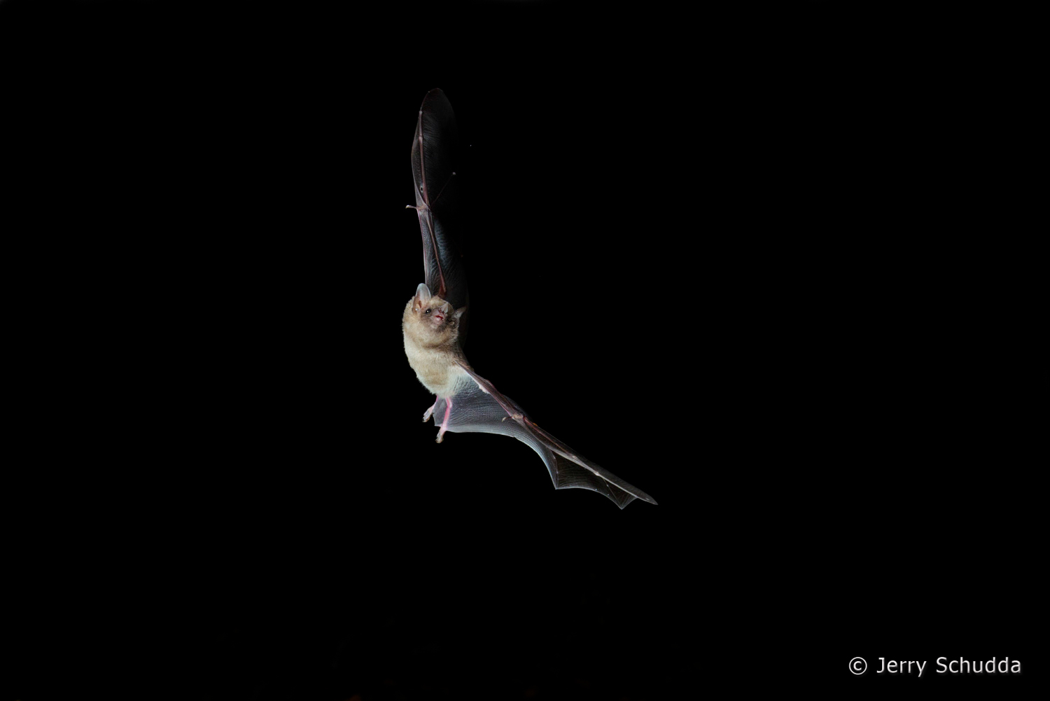 Mexican Long-tongued Bat  1