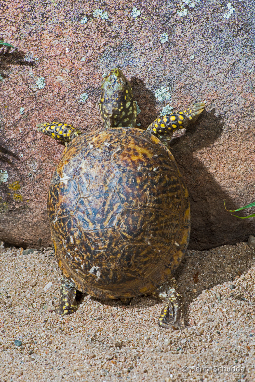 Ornate Box Turtle 1