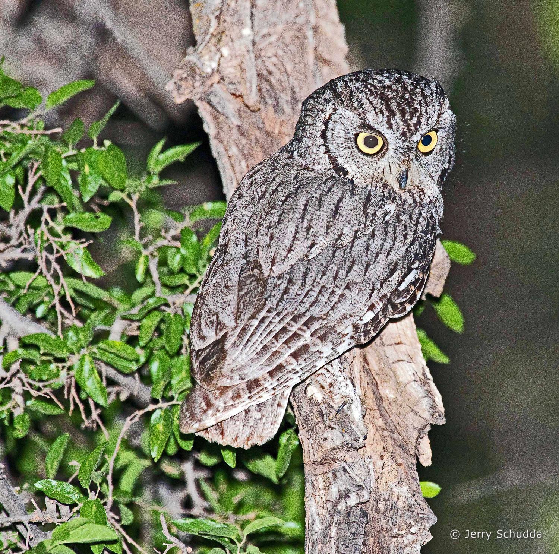 Western Screech Owl 5
