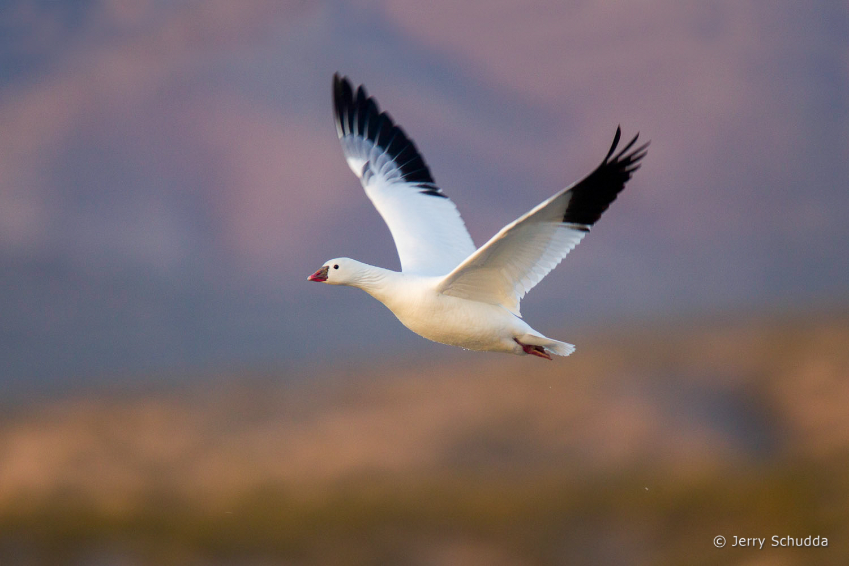 Ross' Goose 1