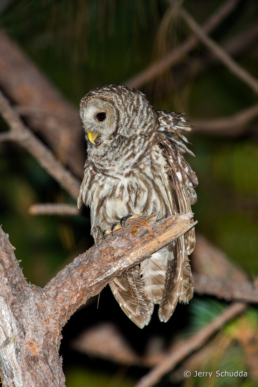 Cinereous Owl 1
