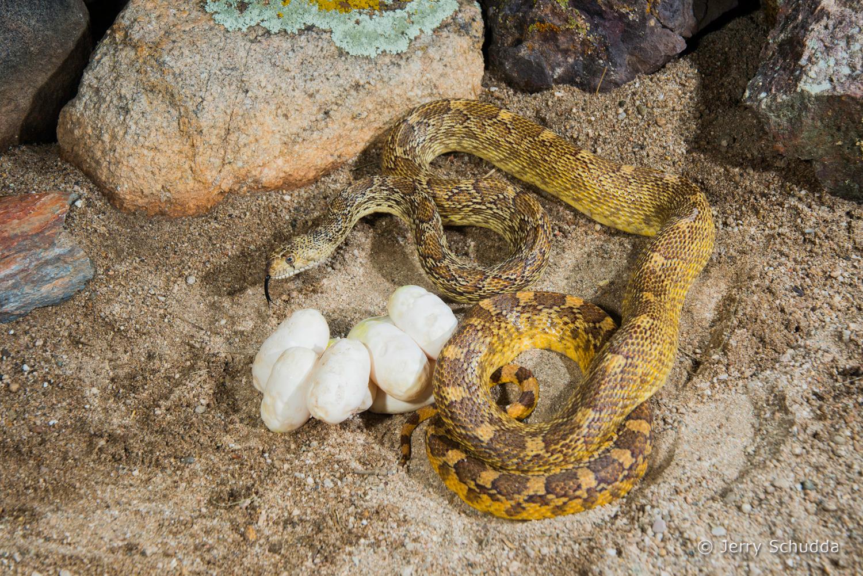 Gopher snake 8