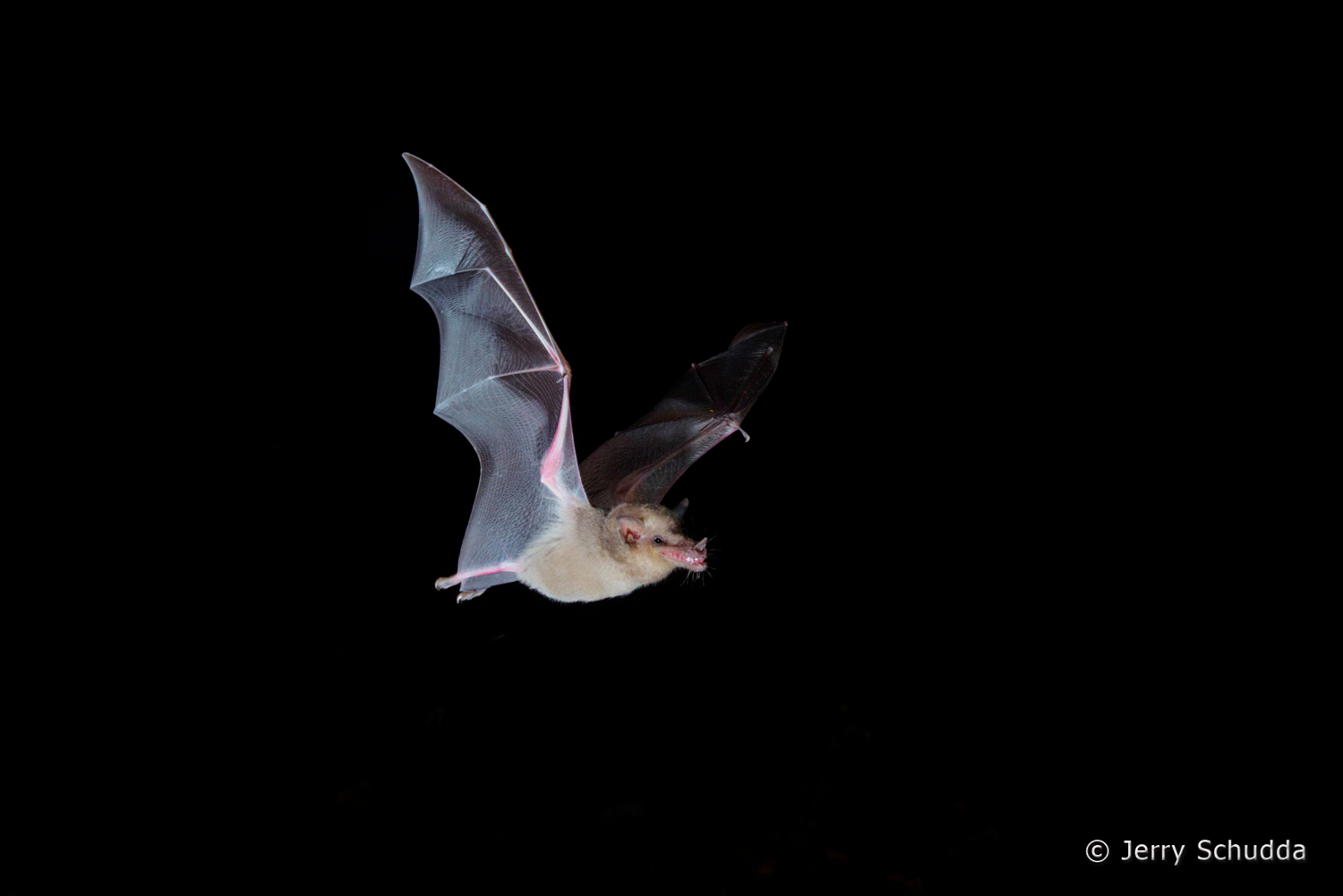 Mexican Long-tongued Bat  6