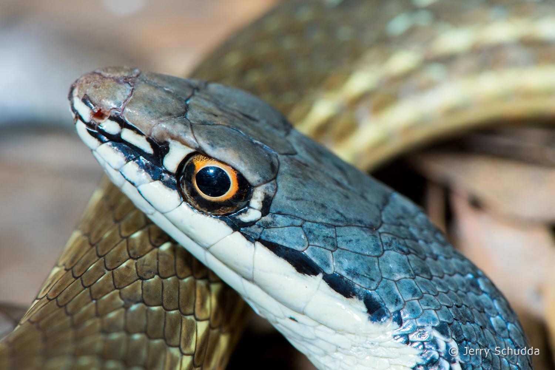 Sonoran Whipsnake 3