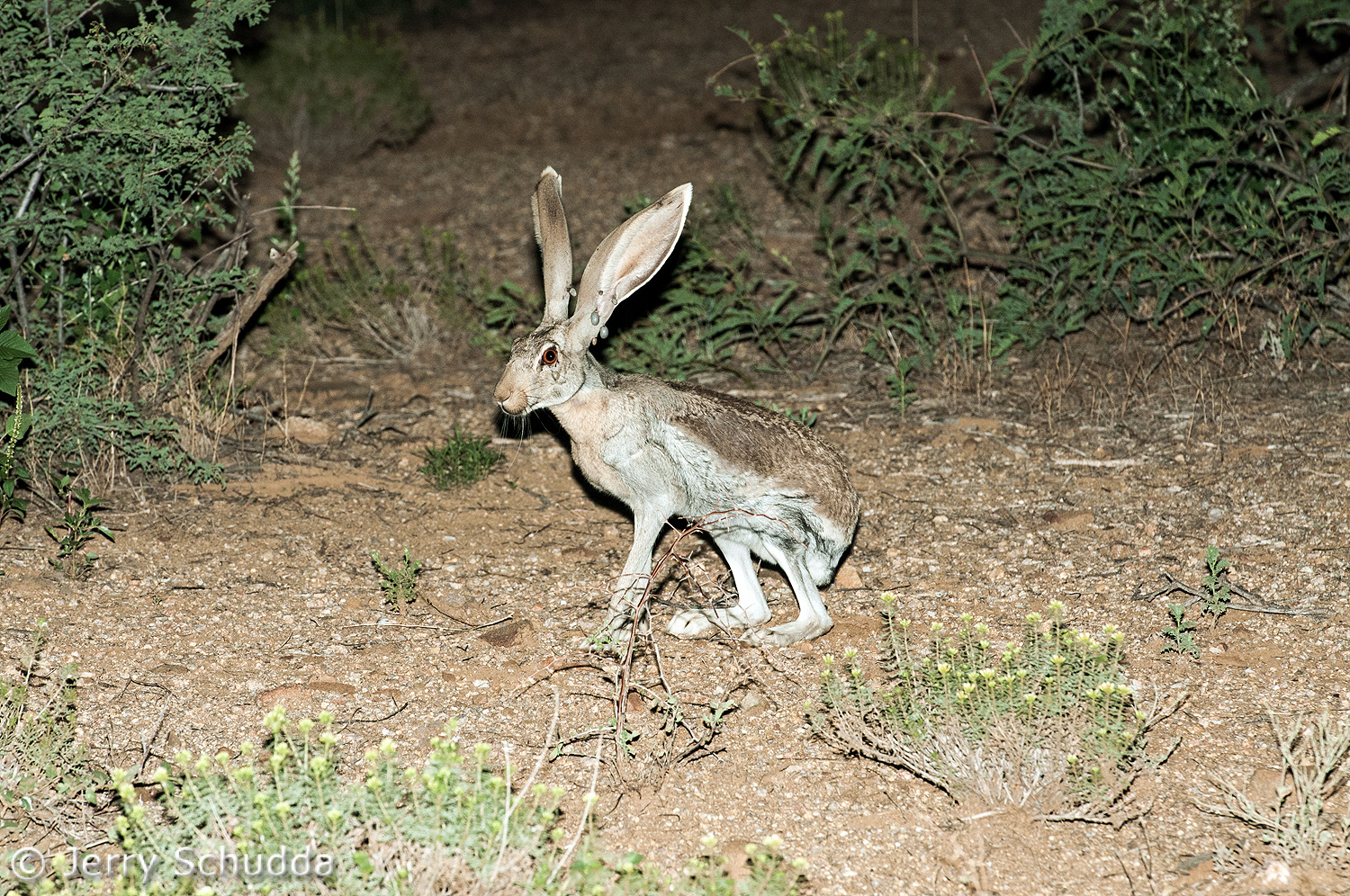 Antelope Jackrabbit with ticks 1