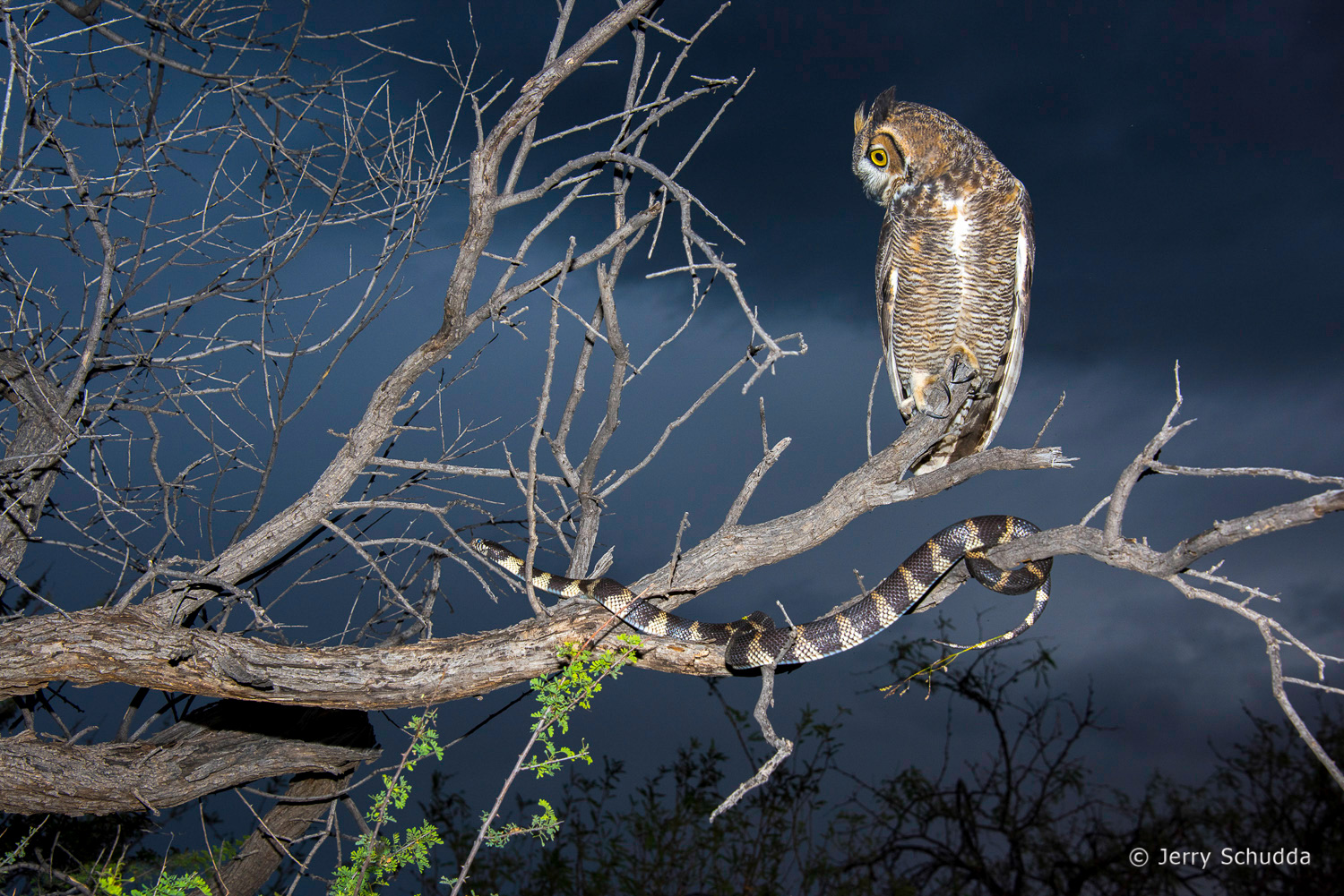 Great Horned Owl  checking out a Common King Snake 7