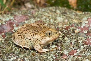 Mexican Spadefoot