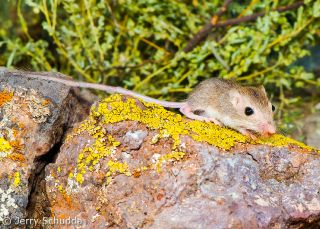 Rock Pocket mouse
