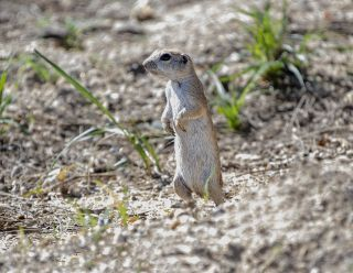 Round-tailed Ground Squirrel 3