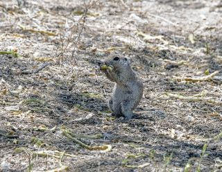 Round-tailed Ground Squirrel 4