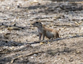 Round-tailed Ground Squirrel 5