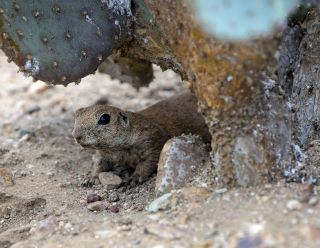Round-tailed ground Squirrel 7