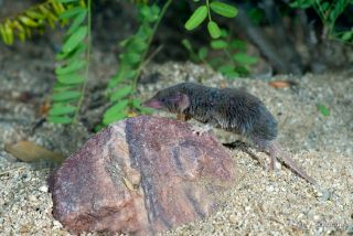 Desert Shrew or Cockrum's Grey Shrew