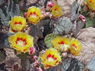 Black-spine Prickly Pear Cactus