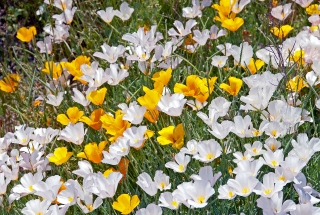 California Poppies Golden and white form