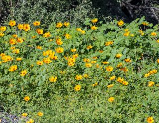 Orange Caltrop - Arizona Poppy