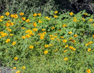 Orange Caltrop - Arizona Poppy1