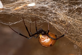 Brown Widow