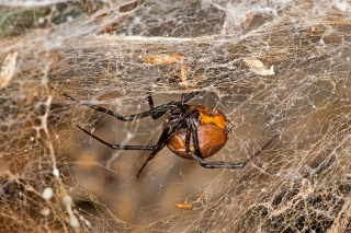 Brown Widow 1
