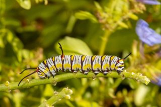 Queen Butterfly Caterpillar