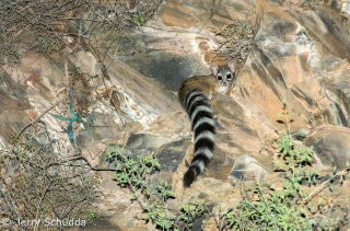 Ringtail subcategory